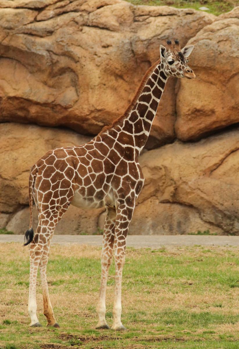 A giraffe observes environment at Nashville Zoo (Credit: Christian Sperka)