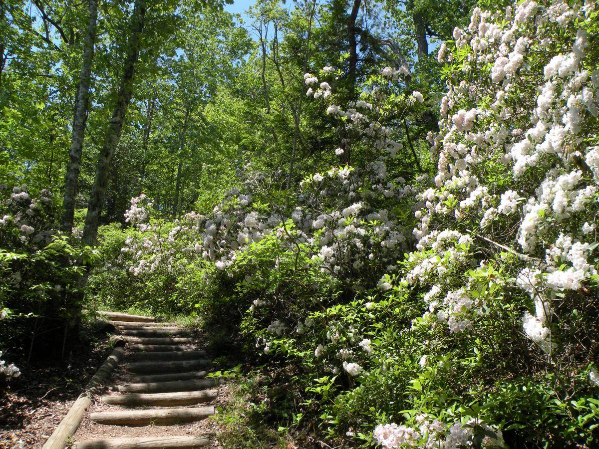 Hike designated trails to see the mountain laurel bloom in Wartburg