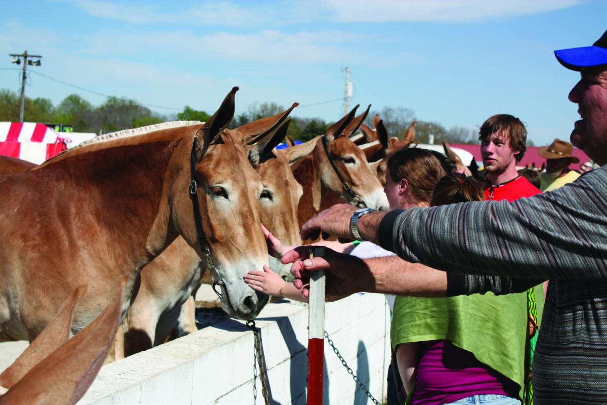Visit with mules, then see them compete at Mule Day