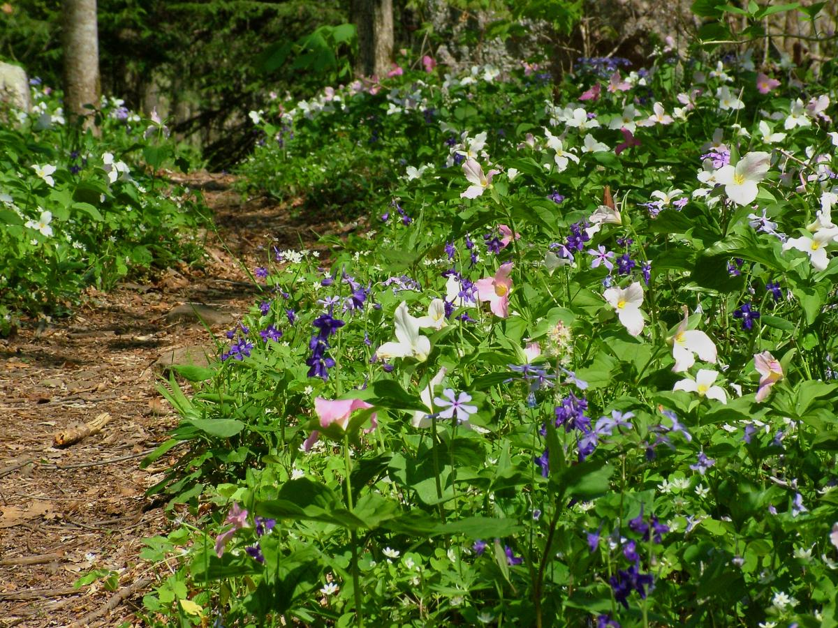 Walk among the flowers with naturalists during Trails & Trilliums