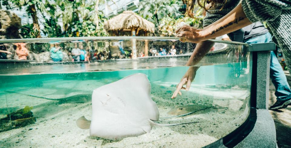 A woman touches a stingray at Tennessee Aquarium
