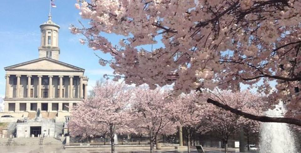 Cherry blossoms in bloom in Nashville