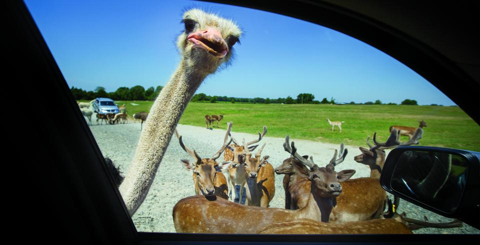An ostrich peeks inside a vehicle at Tennessee Safari Park in Alamo, Tennessee