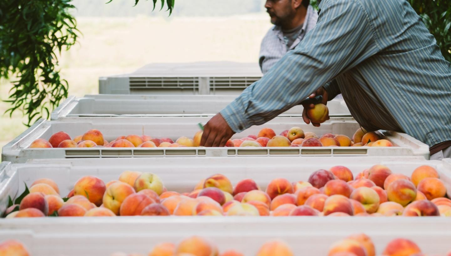The Peach Truck Hits the Road Across Tennessee