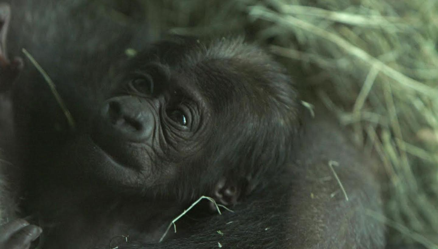 Baby Gorillas Add to Fun at Knoxville Zoo