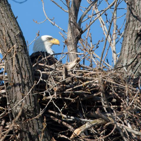 American Bald Eagle & Waterfowl Tours