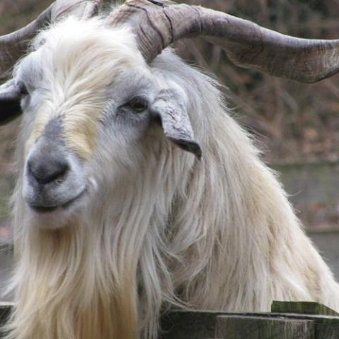 Cahmere goat photo