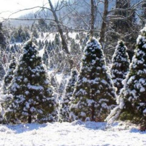 House Mountain Christmas Tree Farm