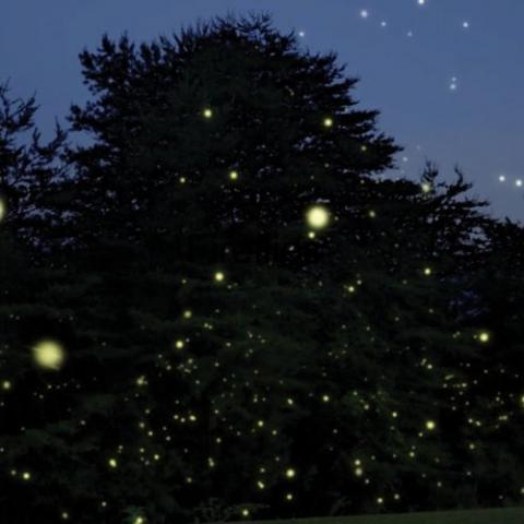Synchronized Fireflies at Elkmont