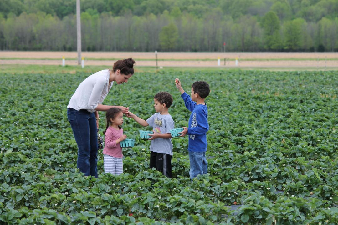 In the spring, pick your own strawberries at Agricenter
