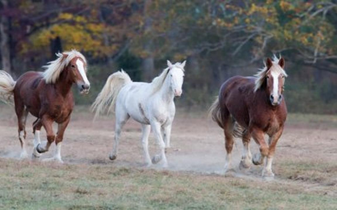 Our healthy horses running out into the pasture after a hard days work